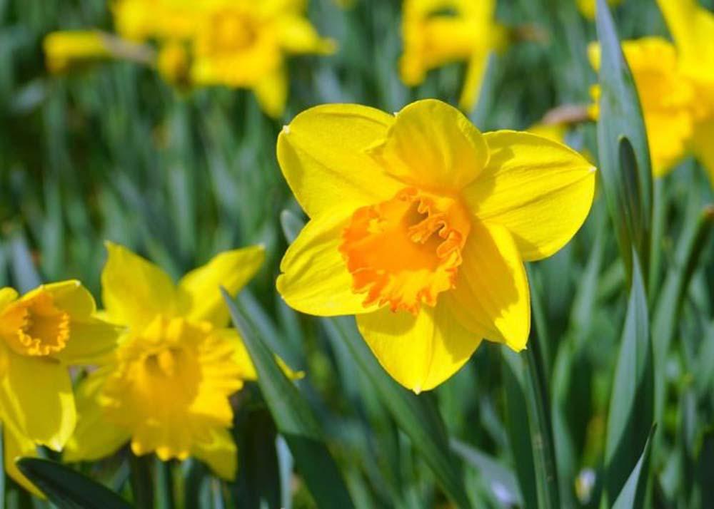 daffodil - photo #45
